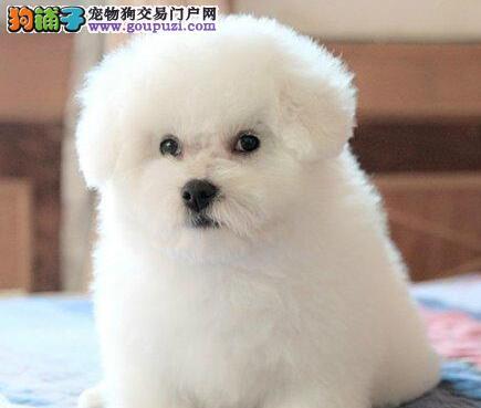 出售纯种卷毛上海比熊犬 售后保证好有任何疾病包退换