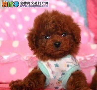 特价转让韩国血统泰迪犬 上海周边地区可免费送狗到家