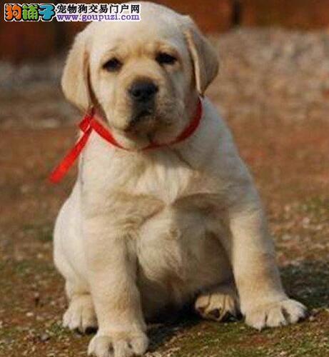 南宁狗场出售实物拍摄的拉布拉多犬 均可见狗父母