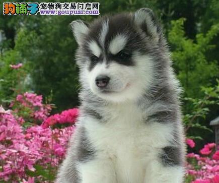广州国立出售帅气蓝眼西伯利亚雪橇犬哈士奇