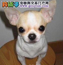 上海信誉狗场低价出售苹果头吉娃娃 可办理血统证书