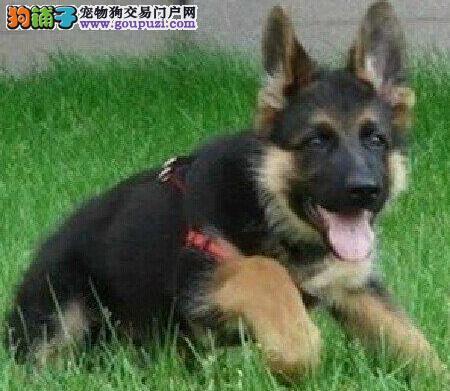 百分百纯正北京德国牧羊犬低价出售有品质保证