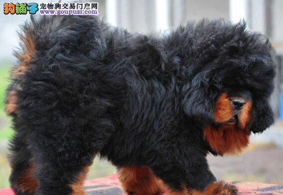 高品质狮王血系藏獒上海自家犬舍直销 周边地区包邮