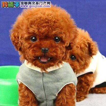济南家养泰迪犬热销中多种颜色包养活保健康