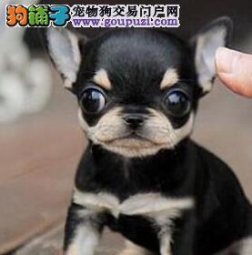 西双版纳大型犬舍低价热卖极品吉娃娃均有三证保障