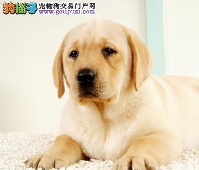 养殖基地直销好品质济南拉布拉多犬可保证血统