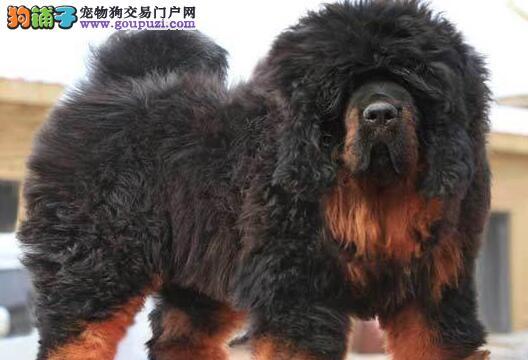 顶级优秀的纯种杭州藏獒热销中冠军级血统品质保障