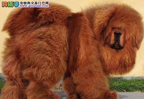 极品原生态济南藏獒低价促销 可货到付款能视频