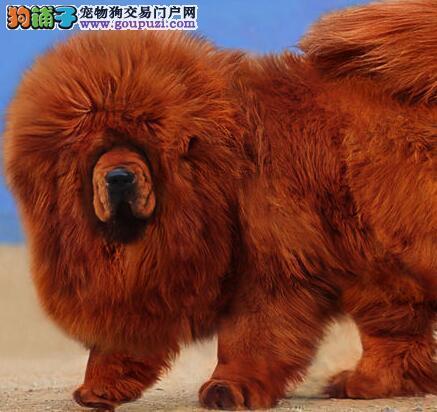 正规狗场 西安专业繁殖销售藏獒幼犬 健康纯种有保障