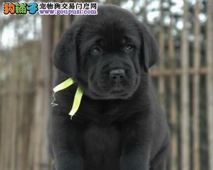 狗场直销保定拉布拉多犬 品相完美可送货上门