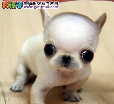 清远哪里有卖吉娃娃犬迷你小体型吉娃娃不掉毛