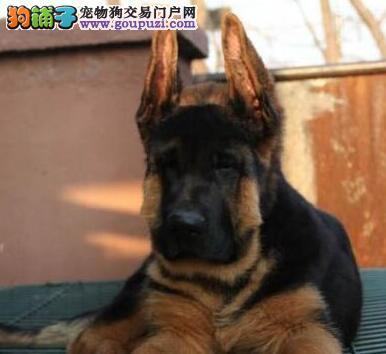 出售CSV标准 3个月 德国牧羊犬 黑背 证书 耳号