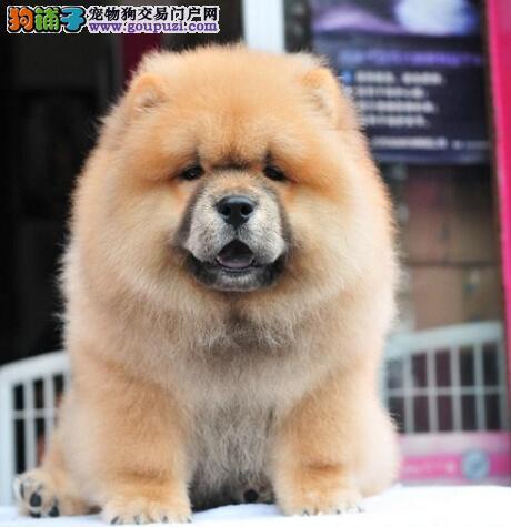 福州自家繁殖纯种松狮犬热销中质量保证终身质保