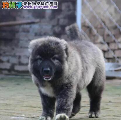 正规狗场出售济南高加索犬 纯正俄系多只购买有优惠