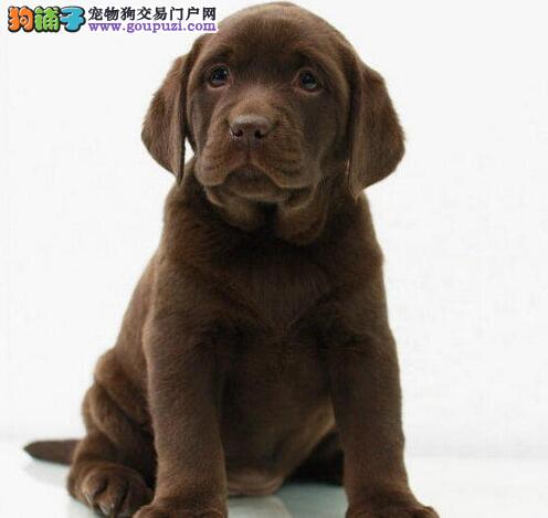 权威机构认证犬舍 专业培育拉布拉多幼犬签署各项质保合同