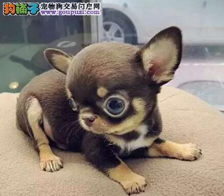出售极品巴掌大小吉娃娃幼犬