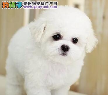 柳州知名犬舍出售卷毛棉花糖品相的比熊犬 疫苗已做好