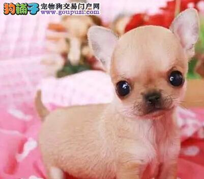 杭州狗场直销苹果头吉娃娃超小体可爱至极