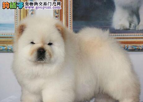 杭州松狮 品相纯种美系白松狮大宝宝出售