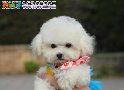 银川大型犬舍低价热卖极品泰迪犬均有三证保障