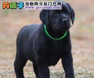 高品质无锡拉布拉多犬特价出售 已做好进口疫苗和驱虫