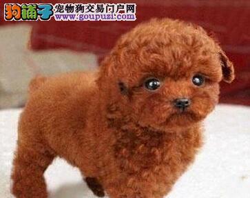 转让纯正韩国血统泰迪犬 无锡周边地区可免费送狗上门