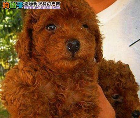 时尚名犬极品贵宾重庆找新爸妈 超活泼 让你爱不释手