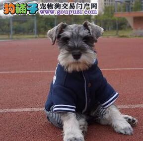 出售大胡子椒盐色的无锡雪纳瑞幼犬 可送货上门看狗