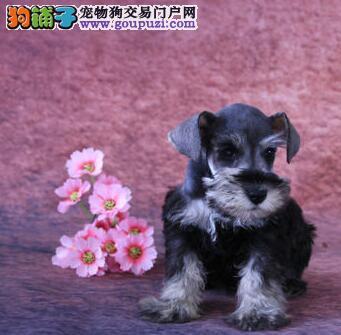 转让血统纯品相佳的广州雪纳瑞幼犬 超小体椒盐深灰色
