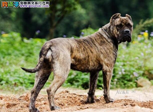 优秀的卡斯罗犬所具备的性格特点是怎样的5