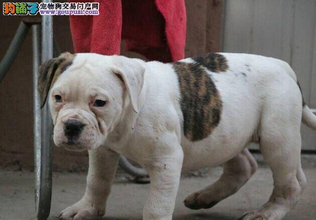 上海繁殖基地出售多种颜色的美国斗牛犬可以送货上门