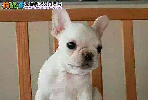 出售纯种健康的南京法国斗牛犬幼犬签订终身纯种健康协议
