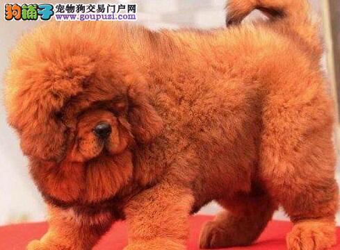 霸气十足一一藏獒出售 中国纯种藏獒繁育 汇集名獒