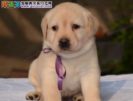 纯种优秀拉布拉多犬特价出售中 哈尔滨正规犬舍直销