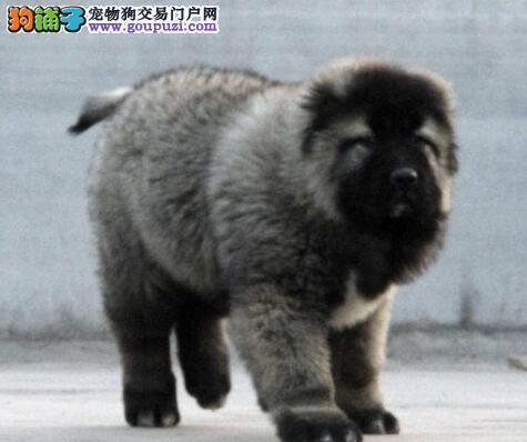 包头犬舍出售纯种高加索犬 购买可签订销售保障合同