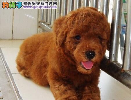 重庆出售颜色齐全玩具茶杯贵宾幼犬