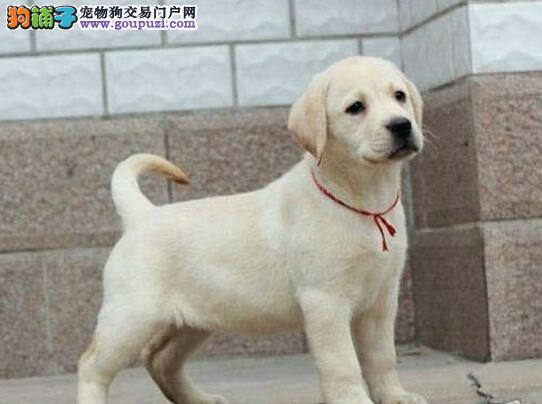 犬舍直销品种纯正健康银川拉布拉多保证品质完美售后