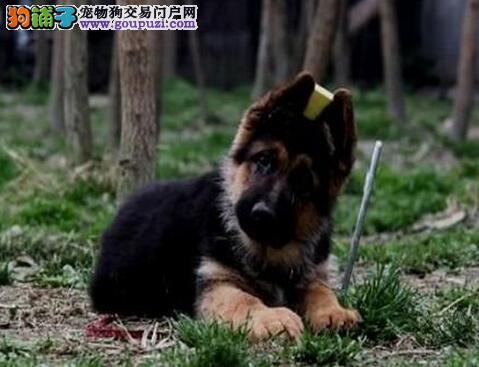 顶级优秀的纯种天津德国牧羊犬热销中签订协议终身质保