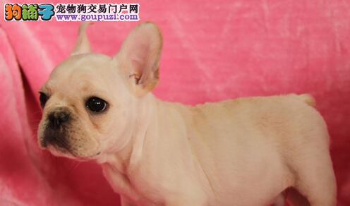 郑州CKU认证犬舍出售高品质法国斗牛犬品相一流疫苗齐全