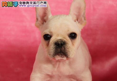 银川自家繁殖的纯种法国斗牛犬找主人金牌店铺有保障