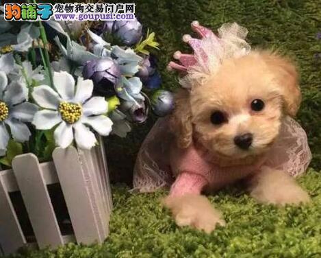 超小体完美品相的温州泰迪犬找新主人 疫苗驱虫齐全