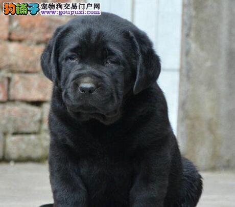 极品优秀纯血统拉布拉多犬武汉犬舍热销 品质有保证