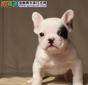 出售法国斗牛犬宝宝,真实照片视频挑选,质保健康90天