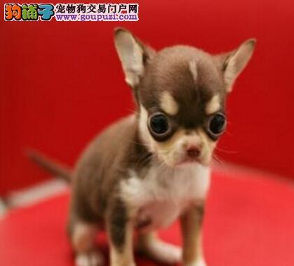 世界最小狗极品袖珍吉娃娃超小体吉娃娃质保签协议
