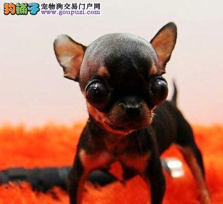 赛级品相吉娃娃幼犬低价出售可以送货上门