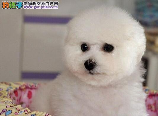 出售棉花糖卷毛品相的温州比熊犬 上门购买送狗笼子
