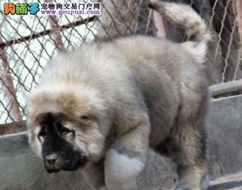 熊版俄系深圳高加索犬找新主人啦 有喜欢的快来看看