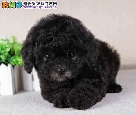 抵挡不了的诱惑 韩国迷你 玩具贵宾犬苏州特价出售啦