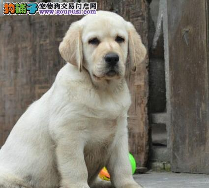 温州大型犬舍出售完美品相的拉布拉多犬 可上门挑