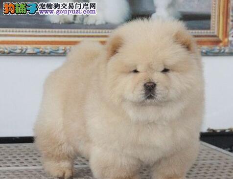 松狮犬价格_松狮犬多少钱_松狮图片_转让